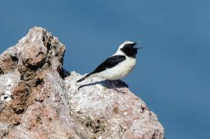 Black-eared Wheathear (Oenanthe hispanica); Lesvos