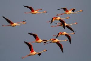Greater Flamingo (Phoenicopterus roseus); Lesvos