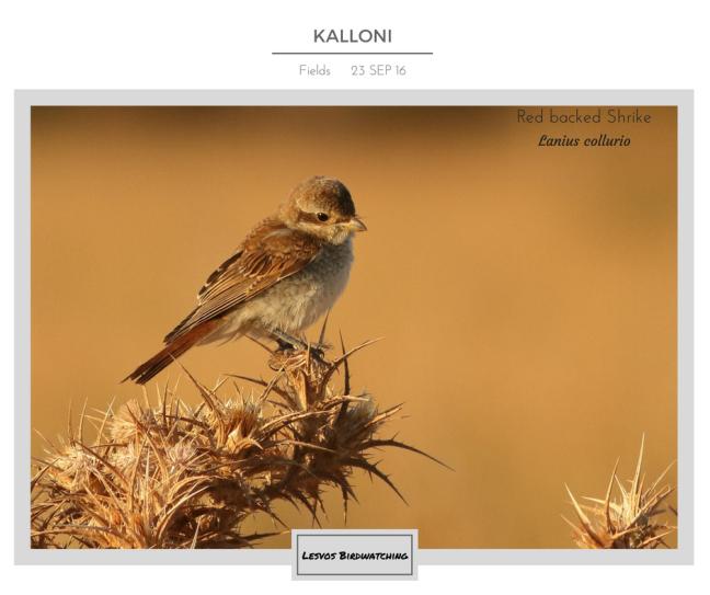 Red-backed Shrike; Lesvos