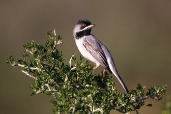 Ruppell's Warbler (Sylvia rueppelli), photo: PETROS TSAKMAKIS