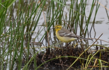 Female Citrine Wagtail (Motacilla citreola), photo: Eleni Galinou-Levosbirdwatching