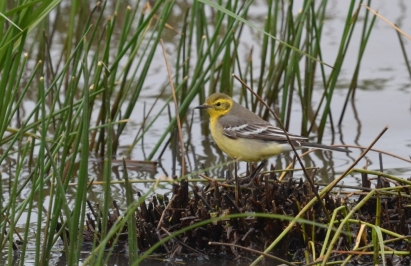 "Female Citrine Wagtail (Motacilla citreola), photo"": ELENI GALINOU/ LESVOSBIRDWATCHING"