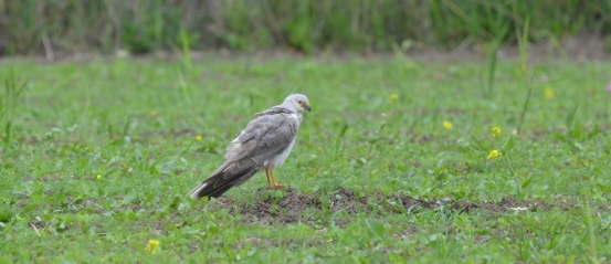 Pallid Harrier (Circus macrourus), photo: Eleni Galinou-Levosbirdwatching