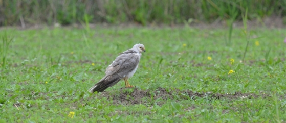 Pallid Harrier (Circus macrourus), photo: ELENI GALINOU/ LESVOS BIRDWATCHING