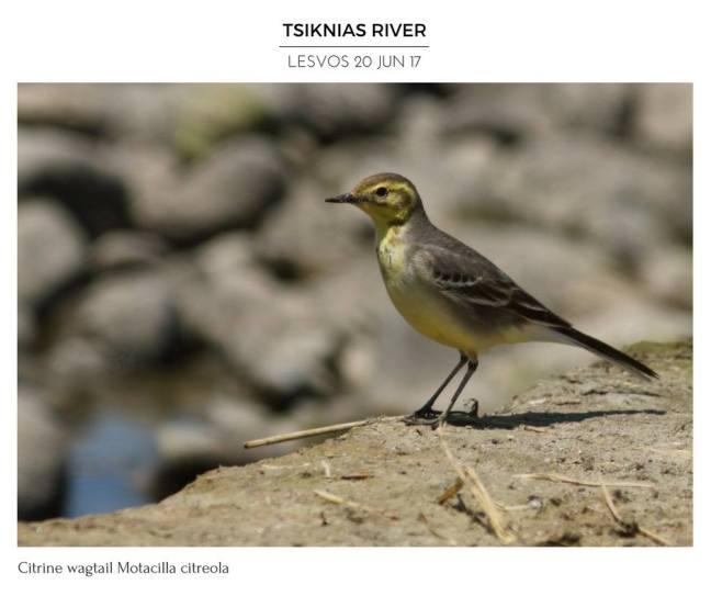 Motacilla citreola; Lesvos birds; Lesvos birding; Lesvos birdwatching