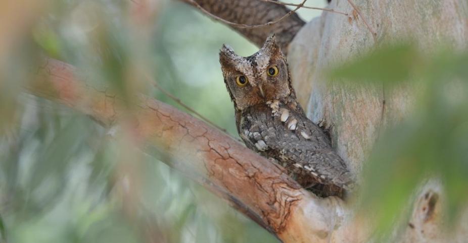 lesvos birds; lesvos birding; lesvos birdwatching; Scops Owl