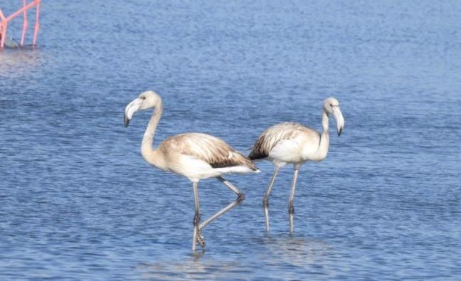 Flamingos; Lesvos