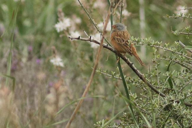 Cretzsmar's Bunting; Lesvos birds