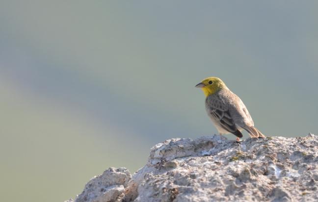 Cinereous Bunting (Emberiza cineracea); Lesvos; Lesvos Birdwatching