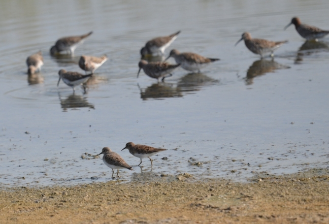 Curlew Sandpipers and Temminck's Stint; Lesvos