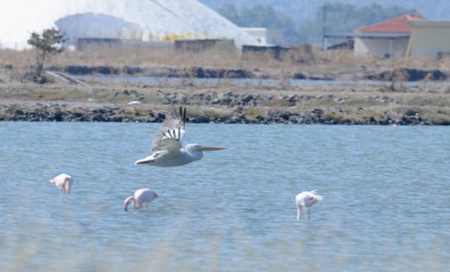 Dalmatian Pelican; Lesvos Birdwatching
