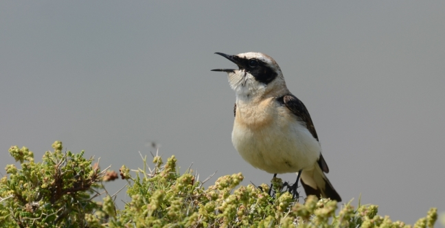 Black-eared Wheatear (Oenanthe hispanica); Lesvos birds