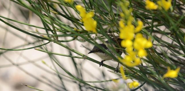 Eastern Orphean Warbler (Sylvia crassirostris); Lesvos birds