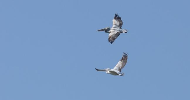 Dalmatian Pelican;Lesvos;birding