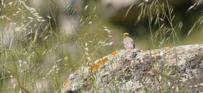 Cinereous Bunting; Lesvos birds