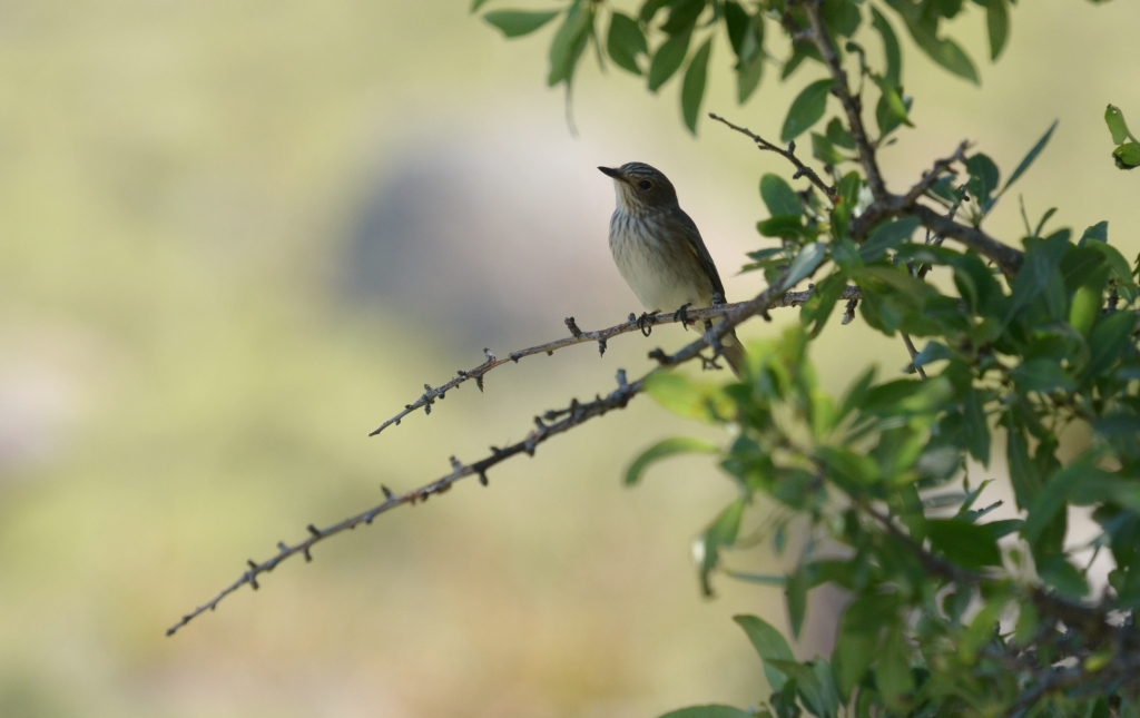 Spotted Flycatcher; Lesvos Birds