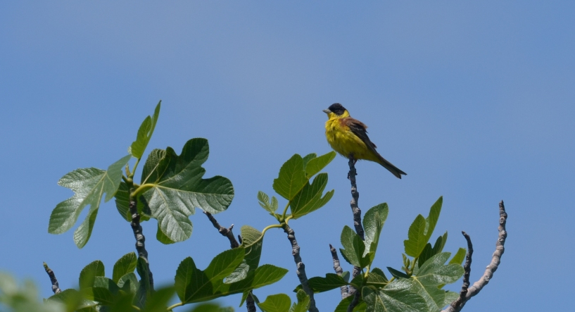 Black-headed Bunting; Lesvos Birds