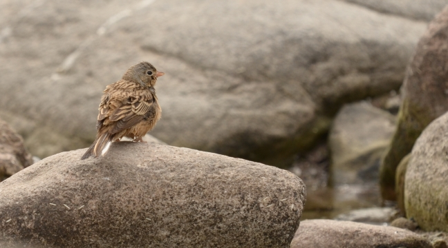 Cretzschmar's Bunting; Lesvos birds