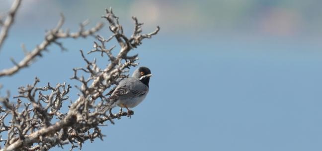 Ruppell's Warbler (Sylvia rueppelli); Lesvos birds