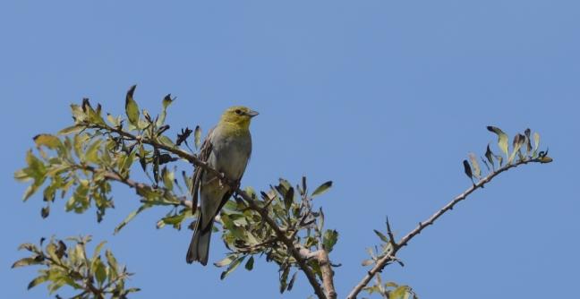 Cinereous Bunting (Emberiza cineracea): Lesvos birds