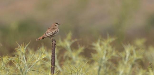 Rufous Bush Robin; Lesvos Birds