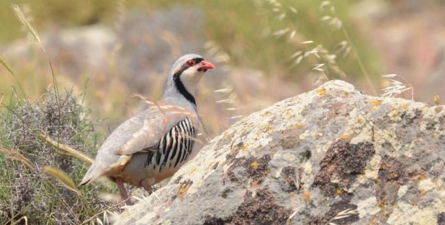 Chukar (Alectoris chukar); Lesvos Birds
