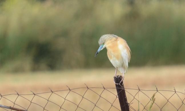 Squacco Heron (Ardeola ralloides); Lesvos Birds