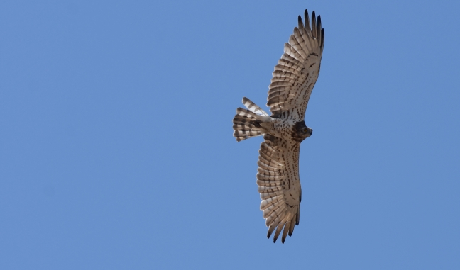Short-toed Eagle (Circaetus gallicus): Lesvos birds