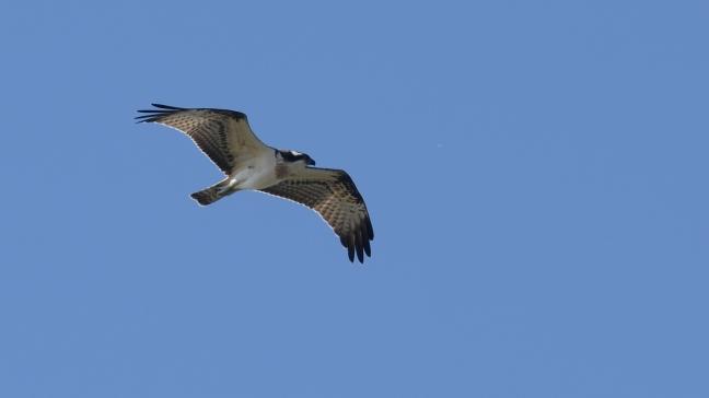 Osprey;Lesvos