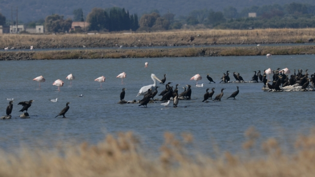 Dalmatian Pelican; Lesvos