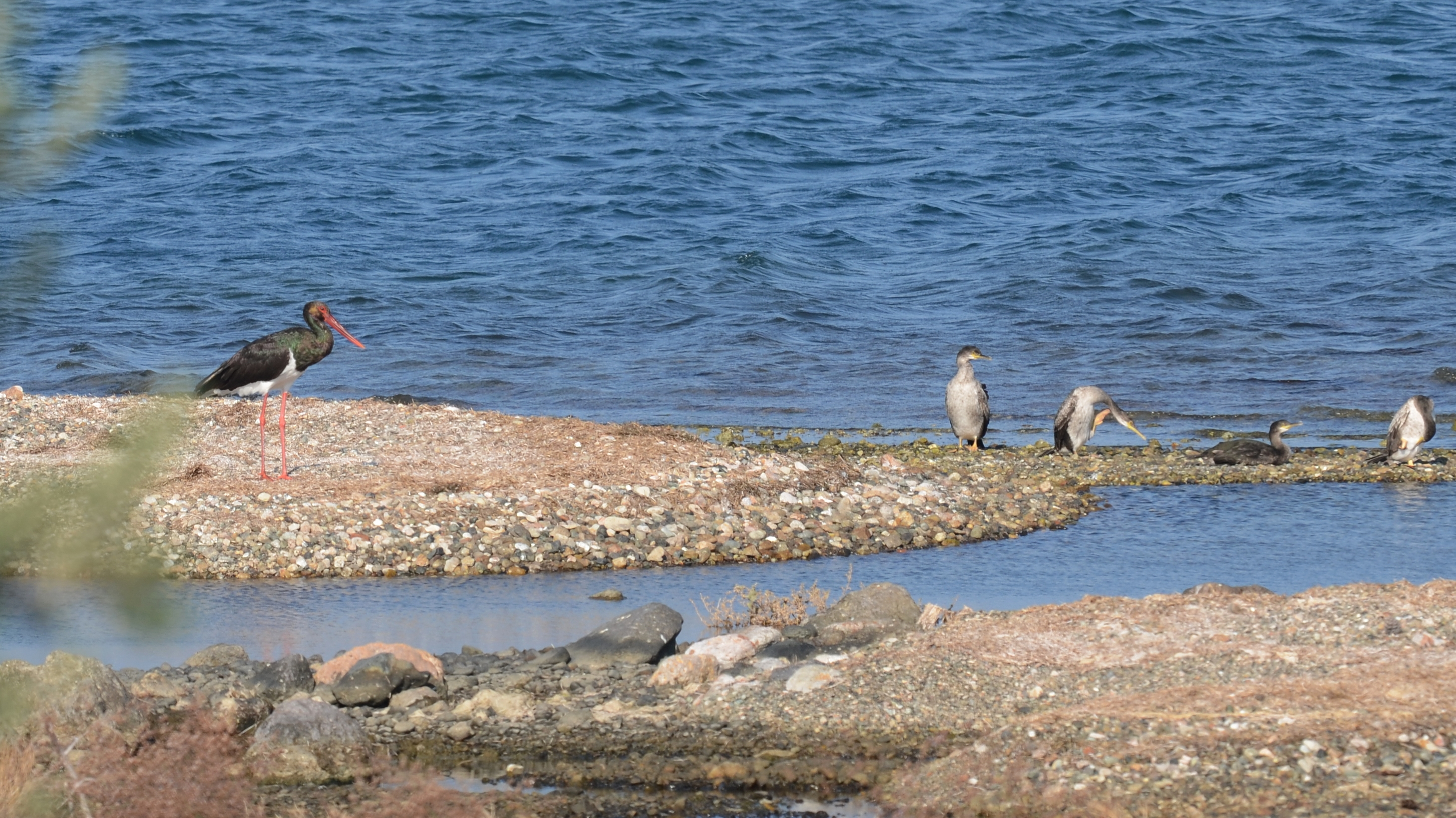 Black Stork and Shags;Lesvos