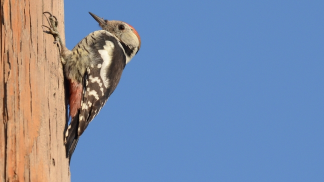 Middle-spotted Woodpecker; Lesvos