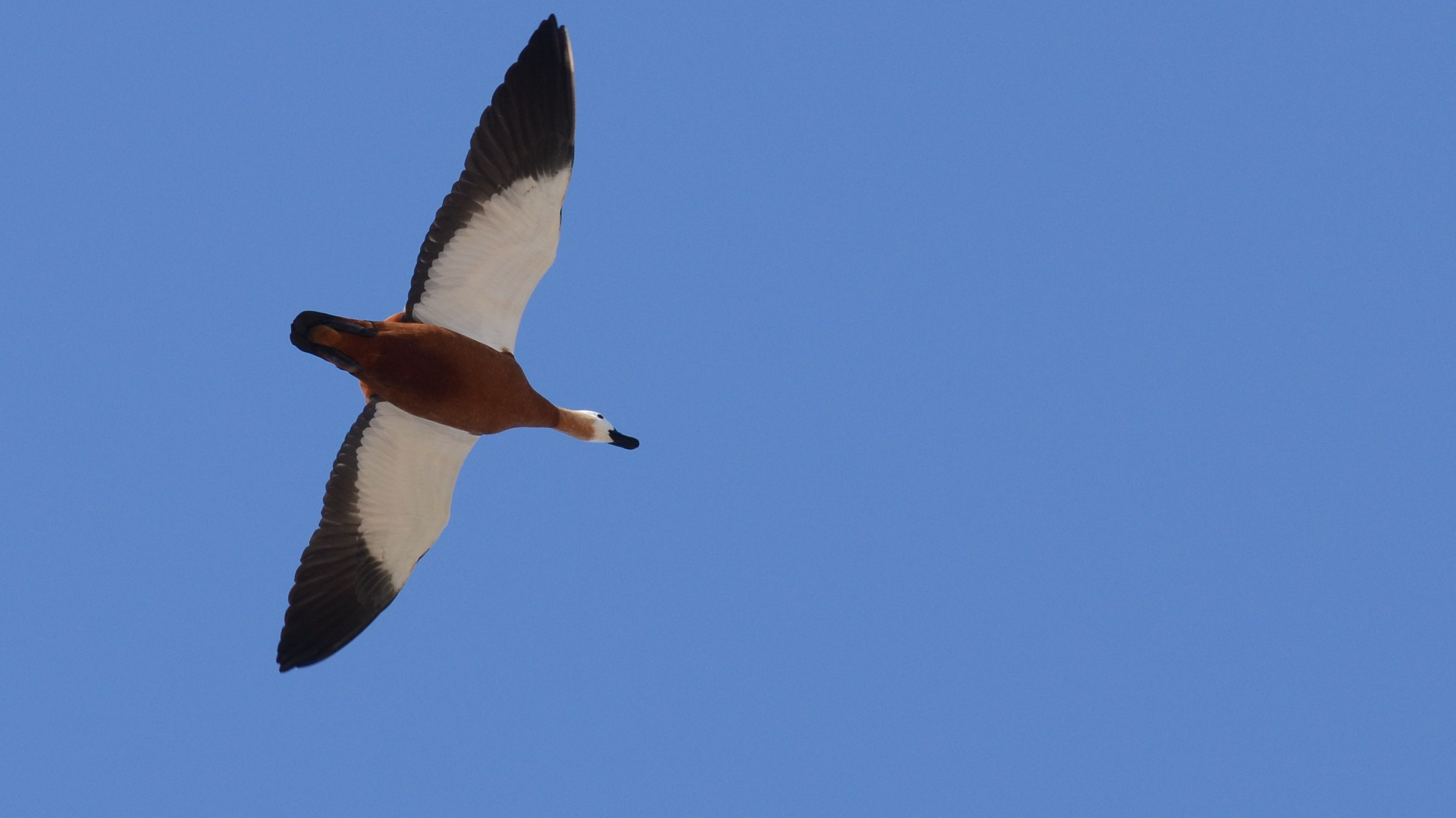 Ruddy Shelduck Lesvos